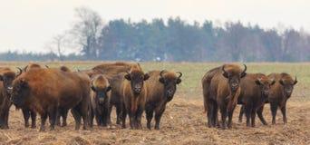 Gregge europeo del bisonte nell'inverno snowless Fotografia Stock