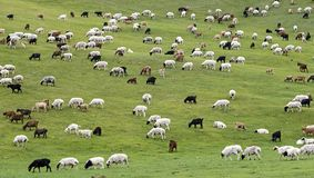 Gregge misto delle pecore e delle capre del Kashmir Fotografie Stock