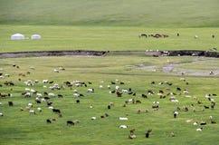 Gregge misto delle pecore e delle capre del Kashmir Fotografie Stock Libere da Diritti