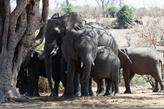 Gregge orizzontale degli elefanti nella figura Immagini Stock