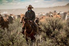 Gregge principale del cavallo del cowboy attraverso polvere e spazzola prudente durante la raccolta immagine stock