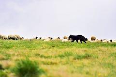 Gregge proteggente delle pecore del cane da pastore Fotografia Stock Libera da Diritti