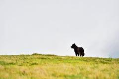 Gregge proteggente delle pecore del cane da pastore Fotografia Stock