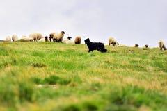 Gregge proteggente delle pecore del cane da pastore Fotografie Stock