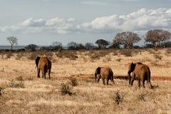 Gregge rosso degli elefanti da Tsavo orientale Fotografia Stock Libera da Diritti