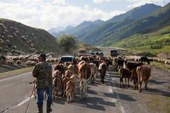 Gregge sulla strada principale militare georgiana. Georgia. Immagini Stock