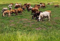 Greggi del bestiame del bestiame che pasce Immagine Stock Libera da Diritti