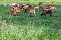 Greggi del bestiame del bestiame che pasce Fotografia Stock Libera da Diritti