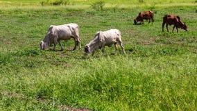 Greggi del bestiame del bestiame che pasce Fotografia Stock