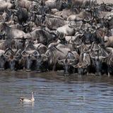 Greggi del wildebeest e dell'uccello al Serengeti Immagine Stock
