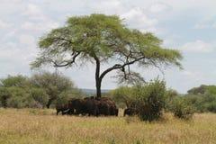 Greggi dell'elefante Fotografia Stock