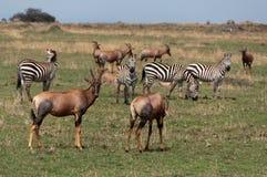 Greggi di Mara del Masai immagini stock libere da diritti