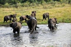 Greggi pericolosi dell'elefante - Zimbabwe Fotografia Stock