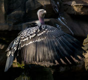 Greifvögel Lizenzfreie Stockbilder
