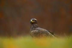 Greifvögel auf der Wiese mit Herbstwald im Hintergrund Steppenadler, sitzend Aquila-nipalensis, im Gras auf Wiese, Stockbild