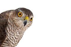 Greifvögel - Eurasier Sparrowhawk-Accipiter nisus Frau Lokalisiert auf Weiß Glückliches junges Mädchen, das Taschen auf einem wei lizenzfreies stockfoto
