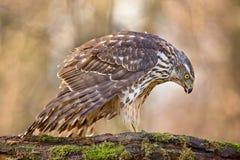 Greifvögel - junge Nordhühnerhabicht Accipiter gentilis Landschaft der wild lebenden Tiere Lizenzfreie Stockbilder