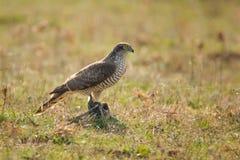Greifvögel - Sparrowhawk-Accipiter nisus mit Opfer Lizenzfreie Stockfotografie