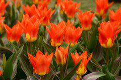 Greigii Tulips lawn Royalty Free Stock Photography