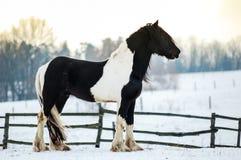 Greja hästen Arkivbild