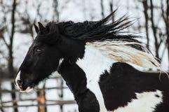 Greja hästen Royaltyfria Foton