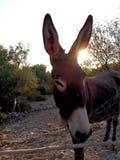 Grekisk åsna Fotografering för Bildbyråer
