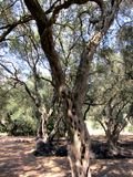 Grekisk detalj för olivgrön dunge arkivfoto