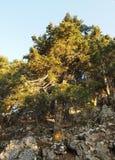 Grekisk gran Arkivbild