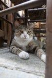 Grekisk katt Arkivbilder