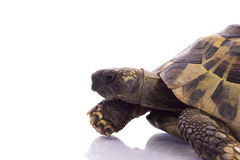 Grekisk landsköldpadda, Testudo Hermanni Royaltyfri Foto
