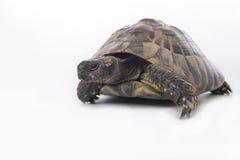 Grekisk landsköldpadda, Testudo Hermanni på en vit studiobakgrund Fotografering för Bildbyråer