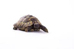 Grekisk landsköldpadda, Testudo Hermanni, vit studiobakgrund Arkivbilder