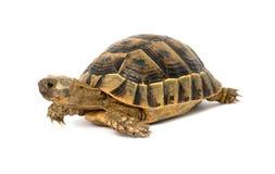 grekisk sköldpadda Arkivfoto