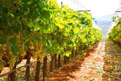Grekisk vingård arkivbild