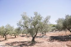 Grekland Olive Trees Royaltyfri Fotografi