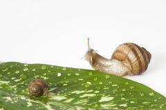 gren叶子蜗牛二 库存图片
