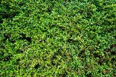Gren灌木 免版税库存照片
