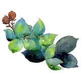 Gren błękitny botaniczny kwiat Odosobniony bukiet ilustracji element zielony liść tła bazy projekta ustalona akwarela ilustracja wektor