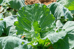 Gren cabbage Stock Image