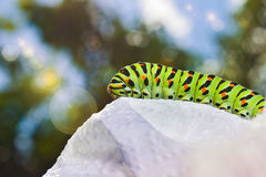 Gren Caterpillar of the Maltese Swallowtail Butterfly. Caterpillar of the Maltese Swallowtail Butterfly .It is now about 40 mm long and nearing its final days as Stock Image