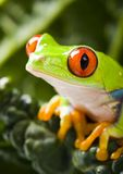 Gren frog Royalty Free Stock Photo