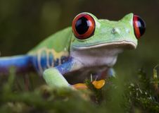 Gren frog Stock Photography