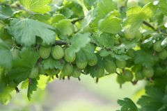 Gren gooseberries Royalty Free Stock Photography