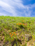 Gren Grass and Golden Poppies. Sky and field of golden poppies, California Royalty Free Stock Photo