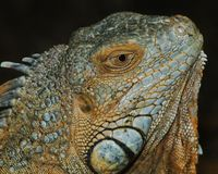 Gren Iguana profile Stock Photos
