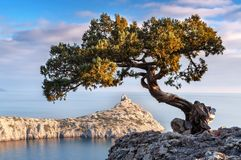 Gren juniper on the rock stock photography