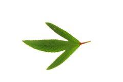Gren liść odizolowywa na białym tle Zdjęcia Stock