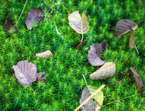 Gren moss macro photo. Royalty Free Stock Images