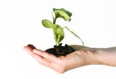 gren ręki mienia rośliny Zdjęcie Royalty Free
