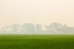 Gren rice field with background of smoke Royalty Free Stock Photos